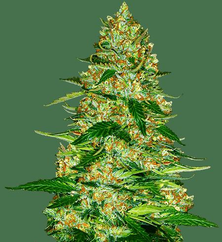 northern lights autoflower