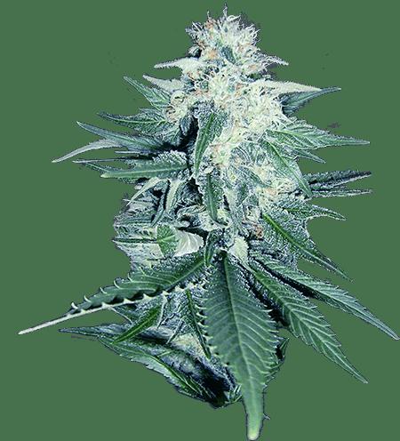 CB Dream Marijuana Seeds