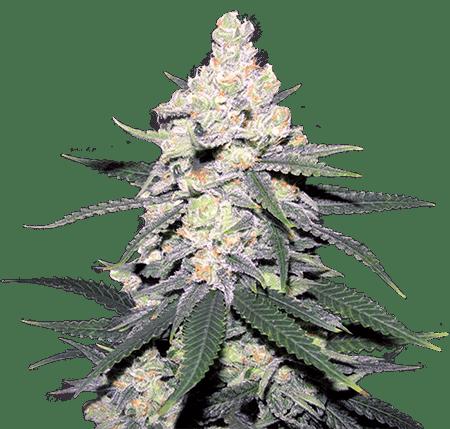 CB Dutch Treat Marijuana Seeds
