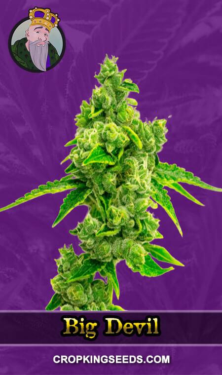 Big Devil Autoflower Marijuana Seeds