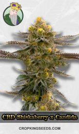 Shiskaberry x Candida Fast Version CBD Feminized Marijuana Seeds