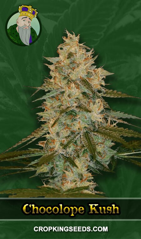 Chocolope Kush Regular Marijuana Seeds