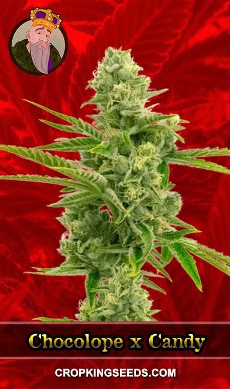 Chocolope x Candy Feminized Marijuana Seeds