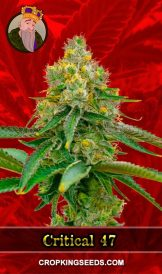 Critical 47 Feminized Marijuana Seeds