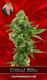 Critical Bilbo Feminized Marijuana Seeds