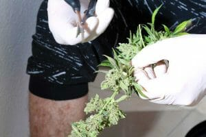 mehods on how to feminize mj seeds