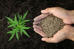 grow marijuana successfully