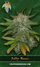 Jelly Bean Regular Marijuana Seeds