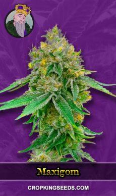 Maxigom Autoflower Marijuana Seeds