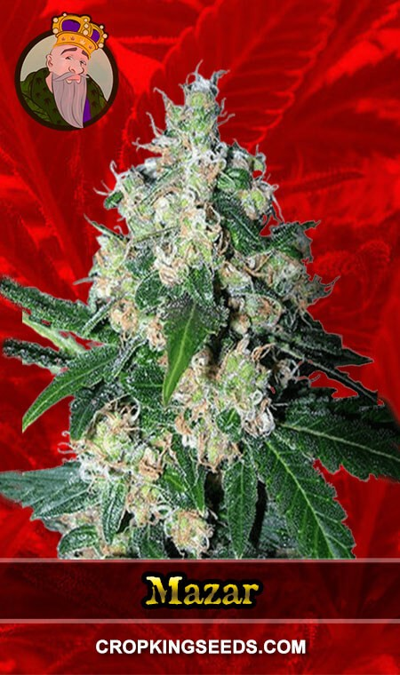 Mazar Feminized Marijuana Seeds