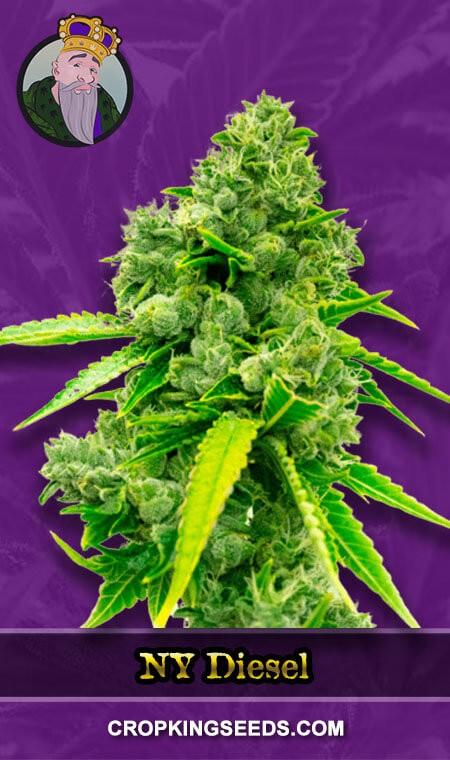 NY Diesel Autoflower Marijuana Seeds