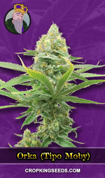 Orka (Tipo Moby) Autoflower Marijuana Seeds