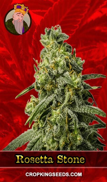 Rosetta Stone Feminized Marijuana Seeds