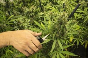 high yielding autoflower