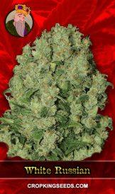 White Russian Fast Version Feminized Marijuana Seeds