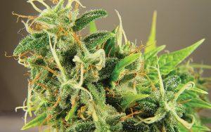 Marijuana Deficiencies