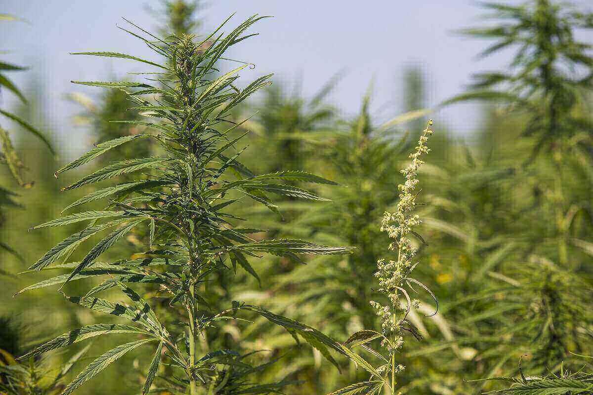 Sexing Marijuana plants
