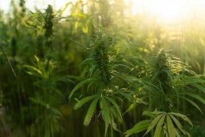 Wild Cannabis plant
