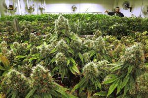 Marijuana Fertilizers