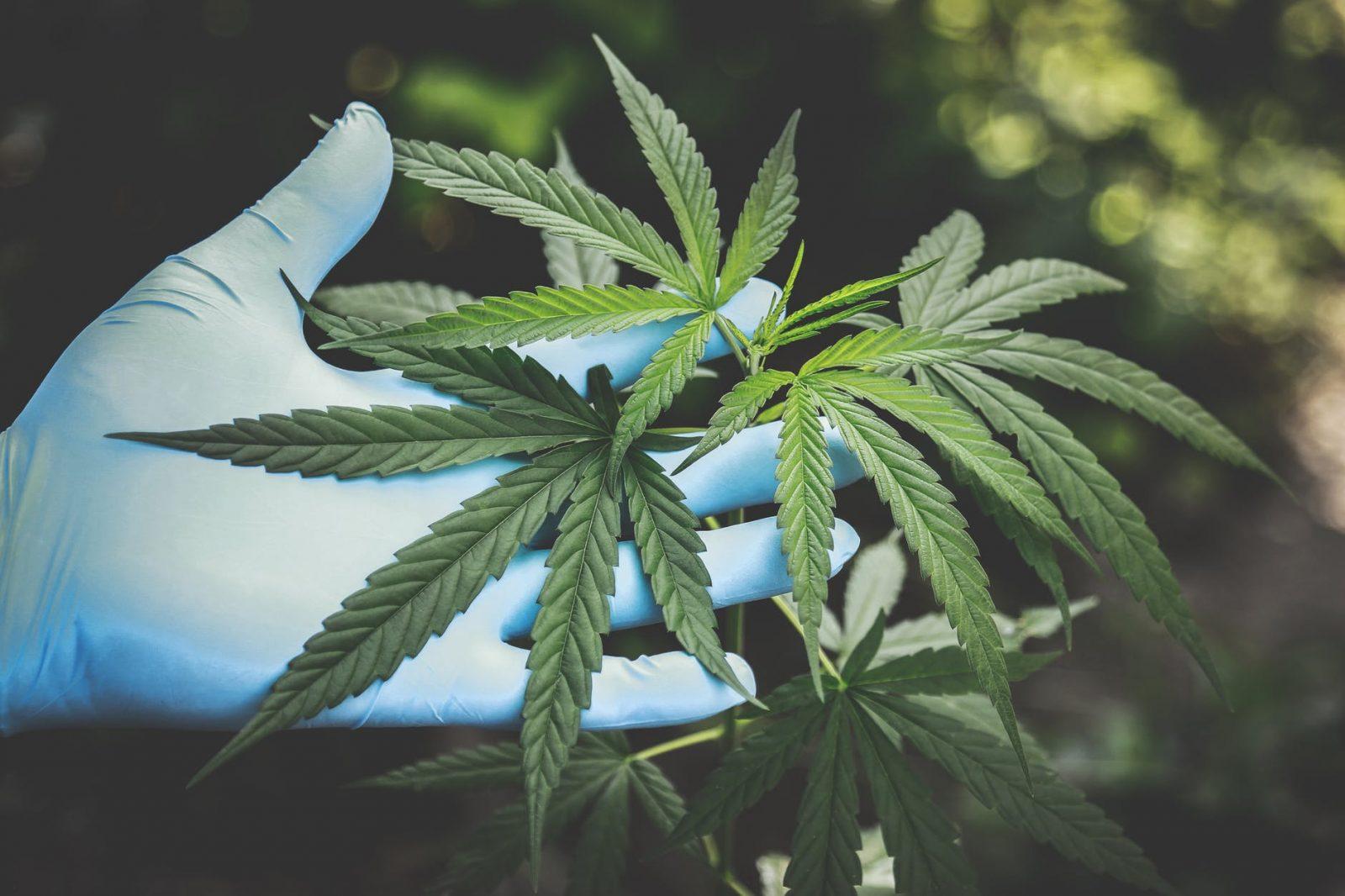 How to Top a Marijuana Plant