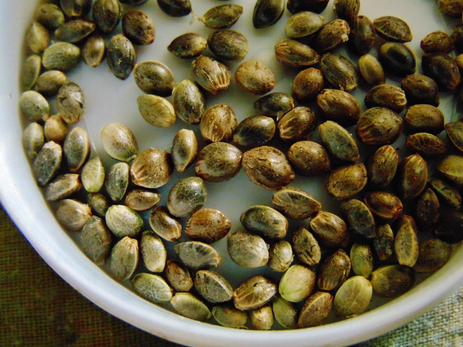 what are reguar cannabis seeds