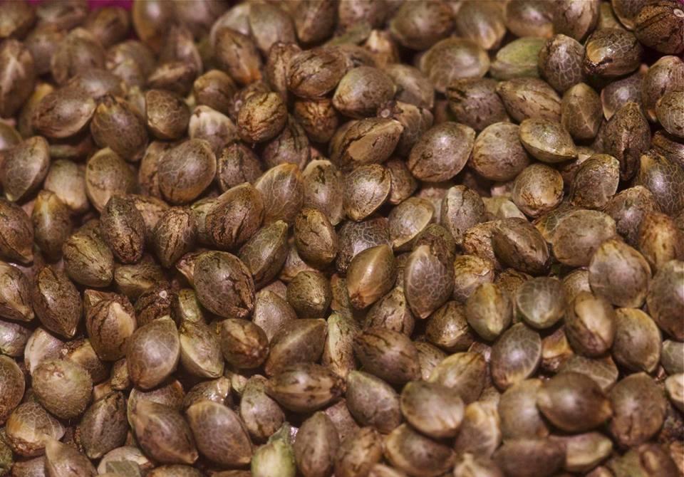 how to recognize bad marijuana seeds