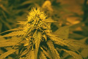 how to grow autoflower
