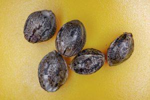 feminized vs autoflowering cannabis seeds