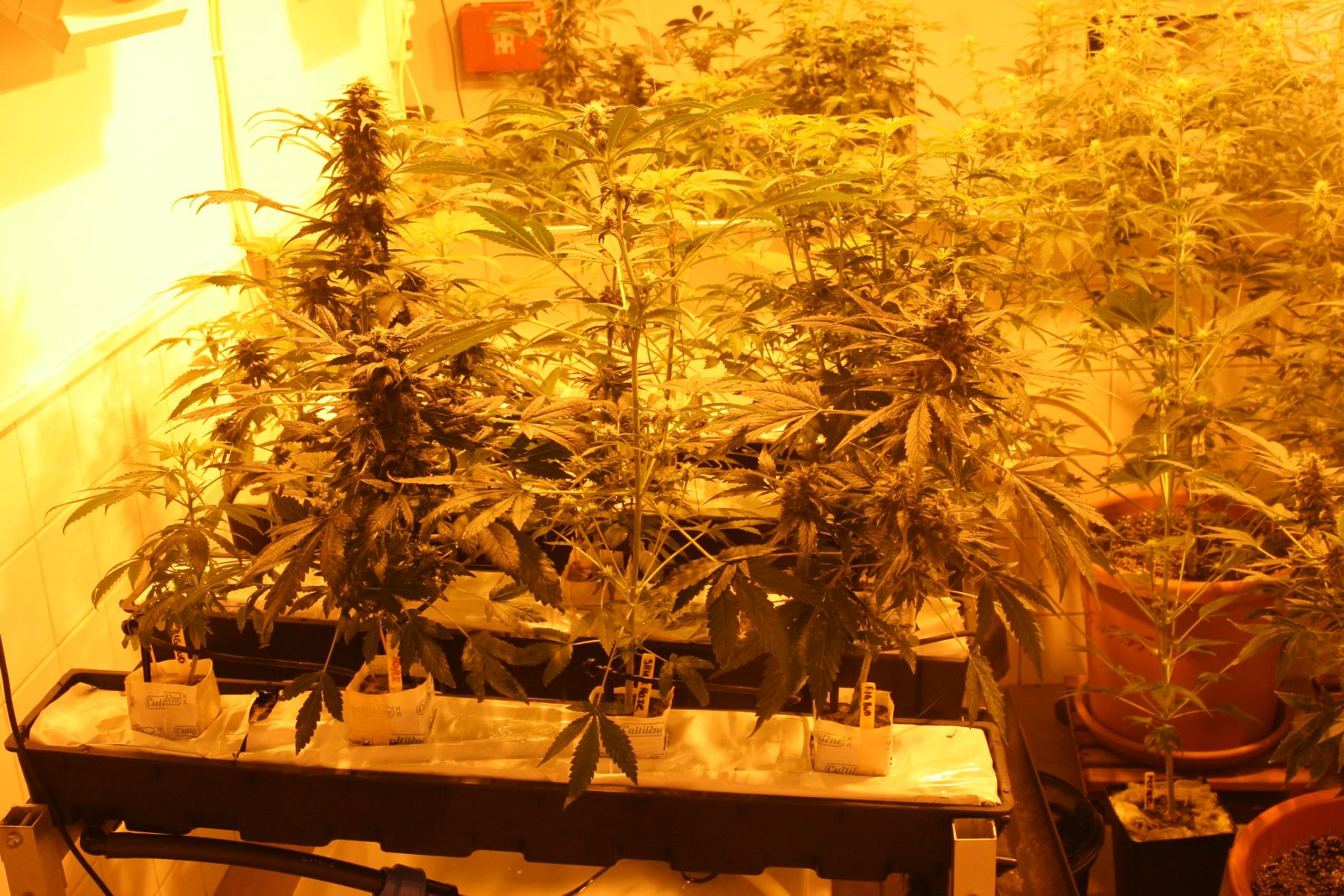 how to grow autoflowering cannabis hydroponically