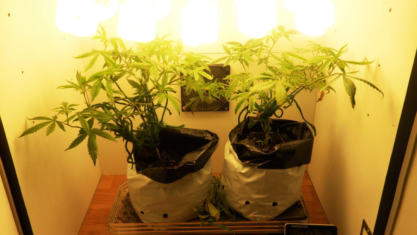 how to micro grow autoflower marijuana