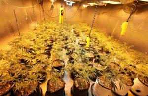 things to consider when growing regular marijuana