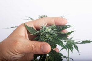 Cannabis Molds