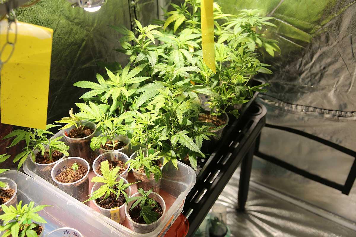 Marijuana grow set up