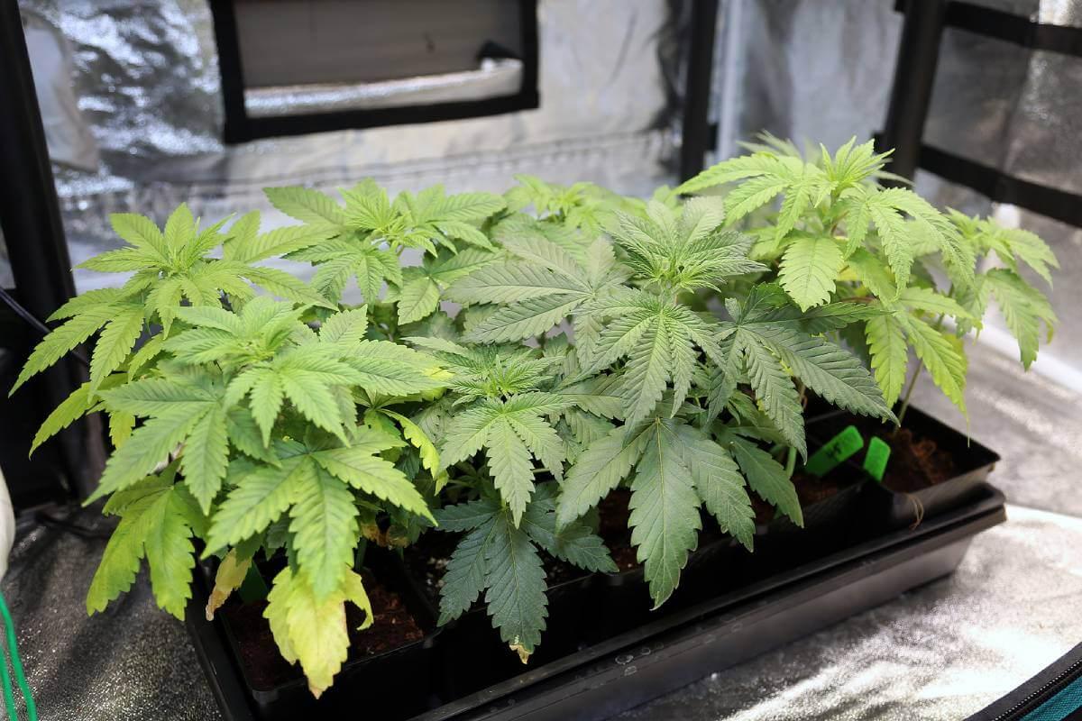 Growing from Seeds VS Growing from Marijuana Clones