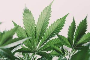 History of Marijuana Where the Magic Began