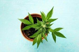 How Many Marijuana Seeds Can you Grow Per Pot?