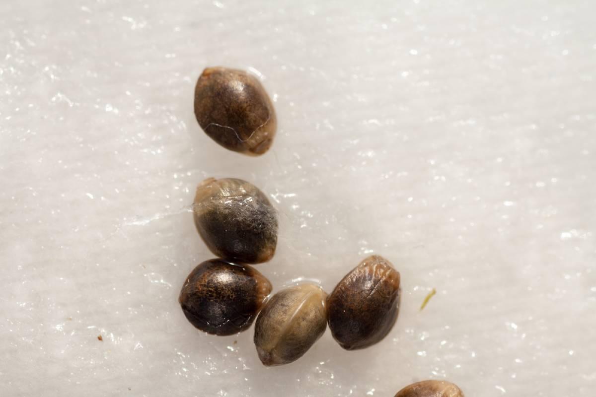 How to Germinate Autoflowering Seeds