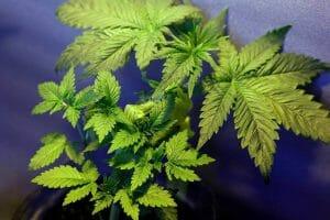 How to LST Autoflower Cannabis Plants