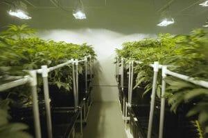 Hydroponic Marijuana Growing