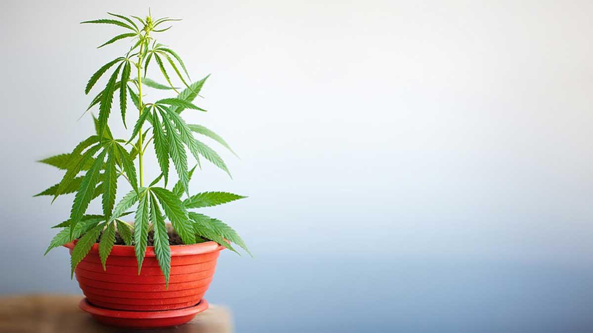 Grow a Marijuana Bonsai
