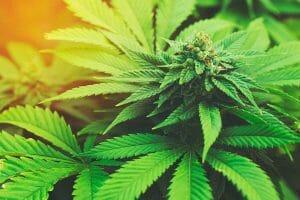 Get A Marijuana Card