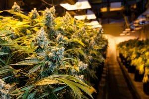 Growing Marijuana Strains