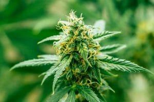 Top 10 Autoflowering Cannabis Strains for Beginner Growers