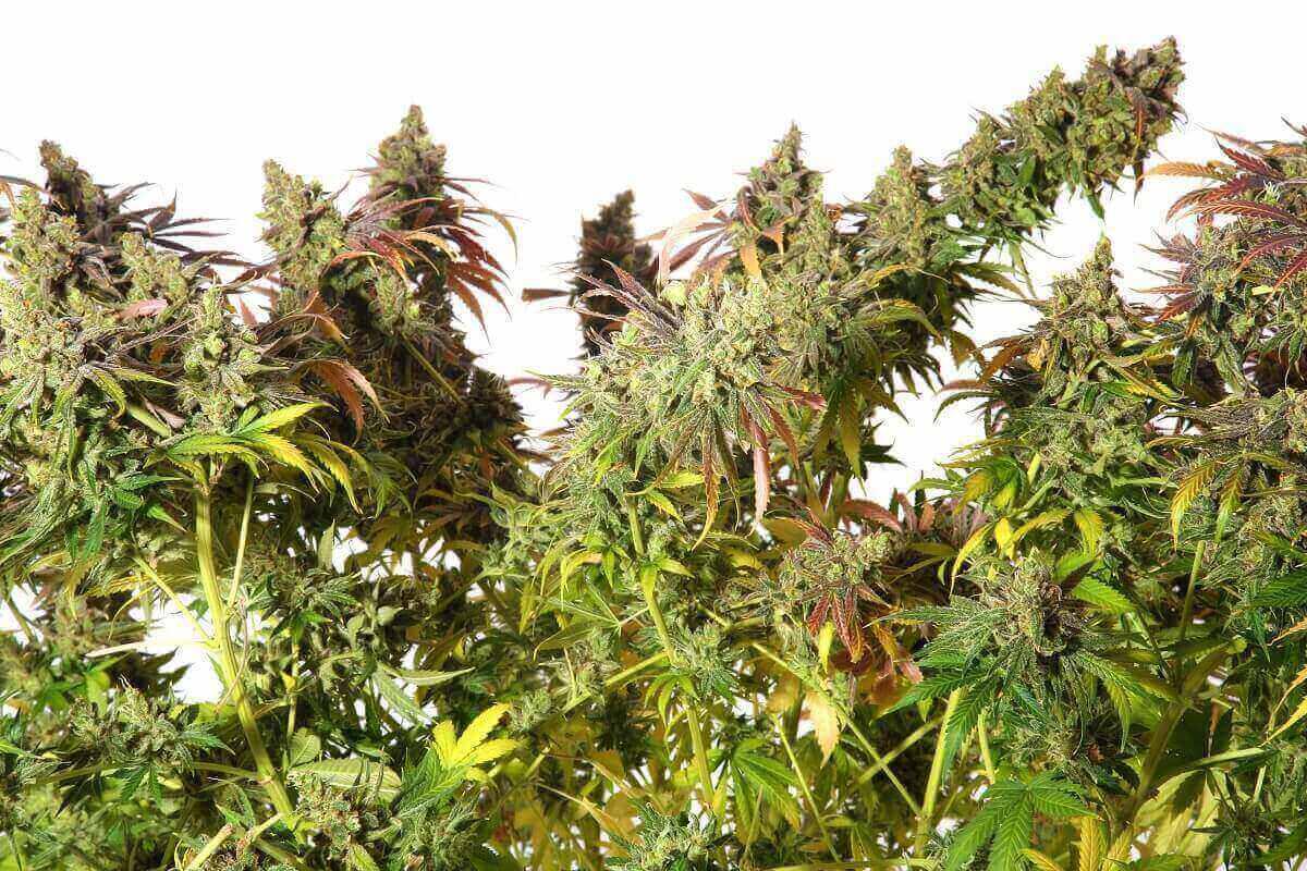 Top List of Fem Cannabis