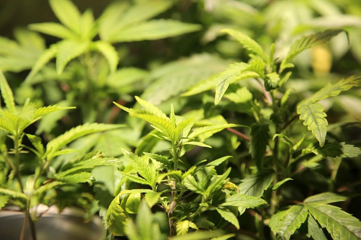 What Are Feminized Seeds: Cannabis Breeding Tutorial
