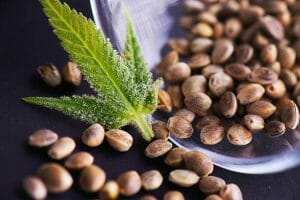 What is a Marijuana Seed Bank