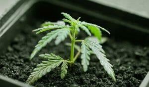 Cannabis Indoor Grow