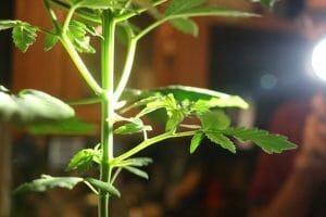 Marijuana Stems