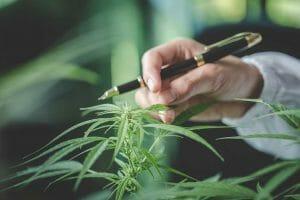 Sativa Marijuana Plant