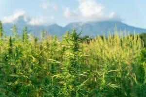 Outdoor Marijuana